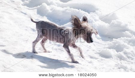Chinese Crested Dog On The Snow