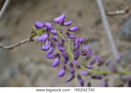 Sinuous wisteria flower, it looks like a colorful snake.