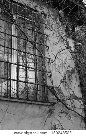 Old window with iron bars wrapped by wisteria