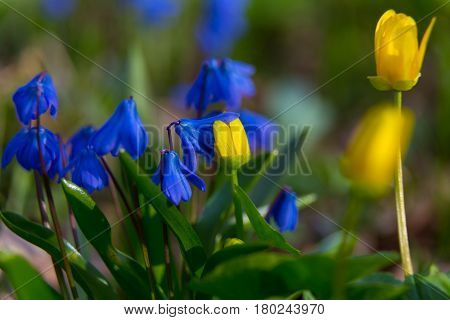The first blue and yellow flowers on spring meadow close-up. Scilla bifolia and Caltha palustris