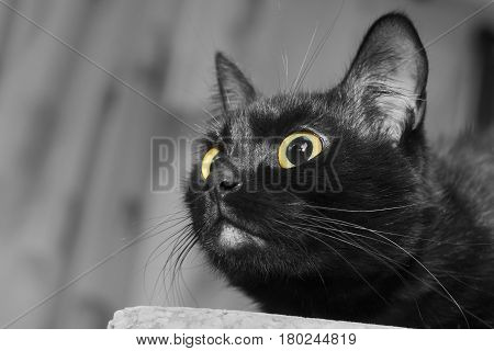 Close up portrait of a black cat with yellow eyes looking upward for to catch some prey.