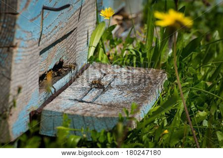 Plenty of bees at the entrance of beehive in apiary. Busy bees close up view of the working bees. Honeycomb in a wooden frame, green garden in the background.