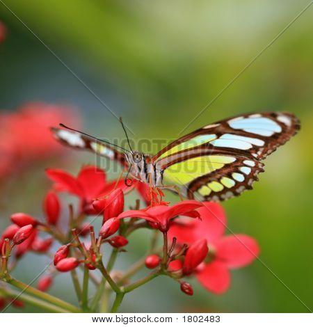 Sipoetra Stelens oder Malachit-Schmetterling