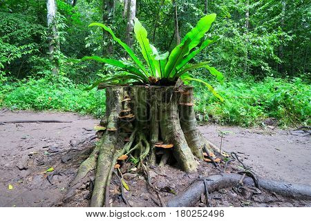fern growing on a tree stump in the forest Thailand