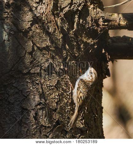 Eurasian Tree Creeper On A Bark