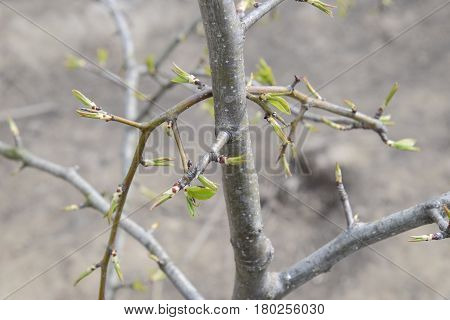 Young Leaves And Buds Of Pears. Blossoming Buds Of A Pear