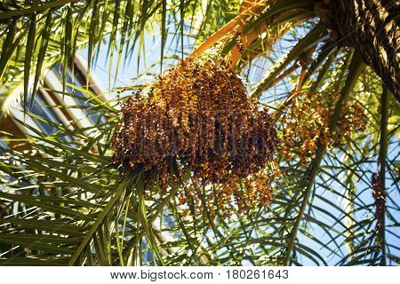 Cluster of dates hanging from a date palm slowly ripening