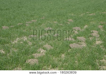 The Mounds Of Soil Left By The Mole