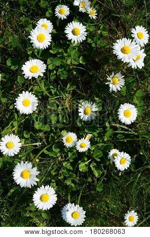 White daisies growing in the meadow. Green grass. Summer daisies