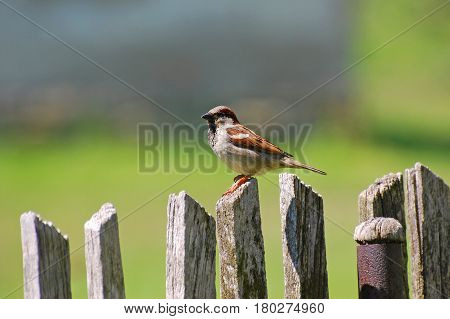 Male House Sparrow (Passer domesticus) on an old wooden fence