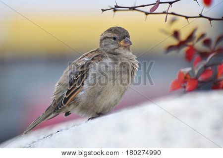Female House Sparrow (Passer domesticus) on concrete Jardiniere