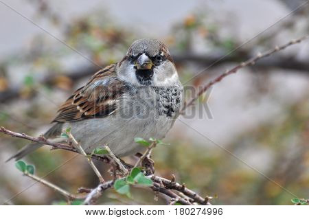 Male House Sparrow (Passer domesticus) on branch