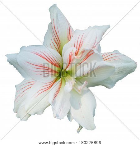 white lilly flower on isolated white background