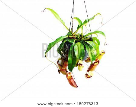 Nepenthes Carnivorous Plant Isolated On White Background