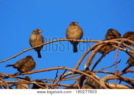 Group of Female House Sparrow (Passer domesticus) on  branches