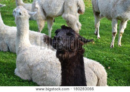 Close Up Alpacas in a Grassy Field