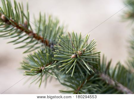 Branch Of Blue Spruce Close-up With Dew Drop