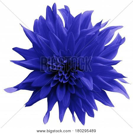 Blue flower. isolated on the white background with clipping path. Close-up. Shaggy yellow flower dahlia. Nature.