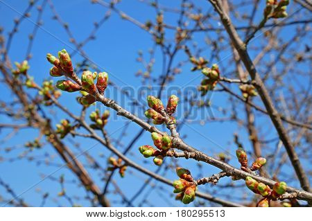 Dismissed Cherry Buds In Springtime
