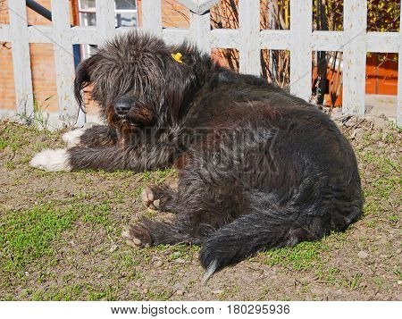Castrated shaggy rambling dog labeled with yellow label in the ear cute animal lying outdoors under fence in sunny spring weather