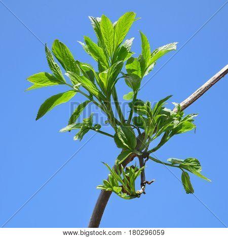 New Elder Branch In Springtime
