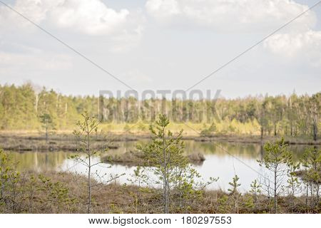 small fir trees, swamp in the forest, sunny and warm spring