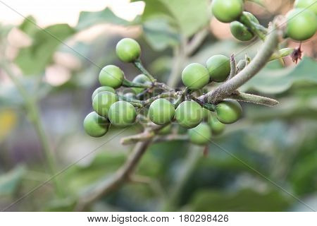 Fresh Solanum Torvum fruits or turkey berry on tree, food ingredient, nature.