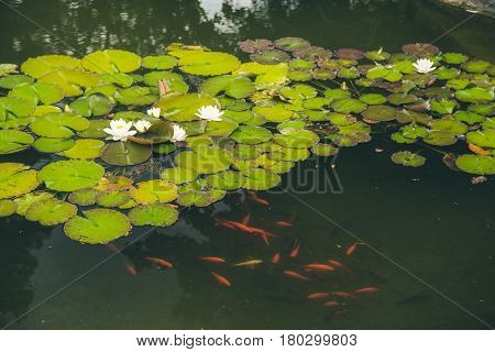 blooming water lilies in a pond with goldfish