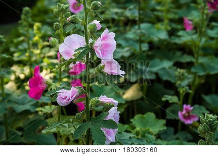The Pink hollyhocks in the green field