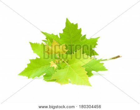 Buttonwood leaf isolated on a white background