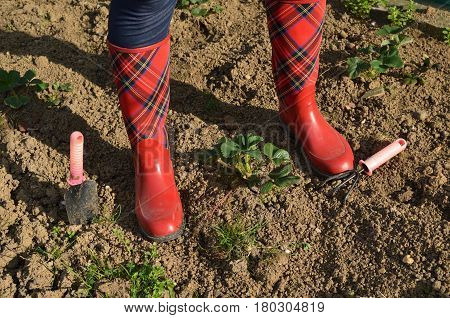 Woman's legs in red rubber boots with royal stewart tartan pattern and with garden tools on garden soil