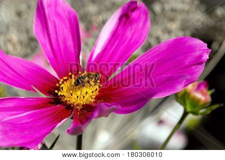 Pink cosmea flower with a bee on it in summer season .Bee on Cosmos flower isolated.Bee working on pink cosmos flower.