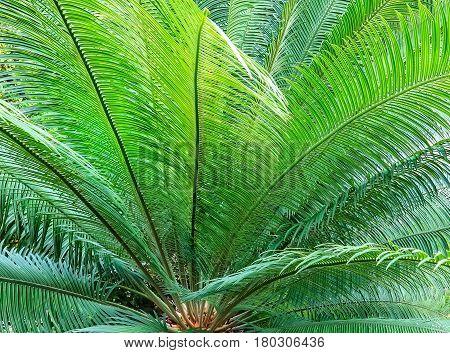 Cycas revoluta also called sago palm, king sago, sago cycad, Japanese sago palm