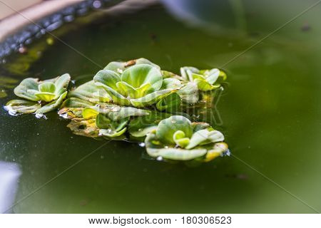 Green Pistia stratiotes in pottery green floating water lettuce