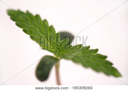 Macro detail of cannabis sprout (russian doll marijuana strain) with the first two leaves, isolated over white background