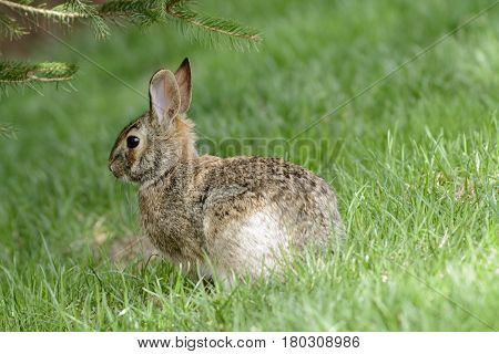 An Eastern Cottontail rabbit (Sylvilagus floridanus) in the grass below a spruce tree during early spring in Carroll County Maryland, USA.
