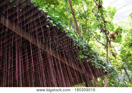 Blurred pink aerial root of climber plant from wooden lath
