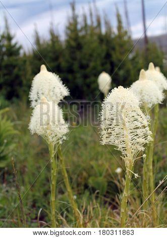 Field of Bear Grass in Glacier National Park