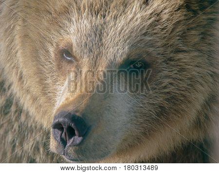 Closeup of a brown bear head in a zoo