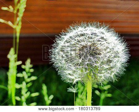 Dandelion closeup. Dandelion fluff. Spring, May. Low DOF photography.