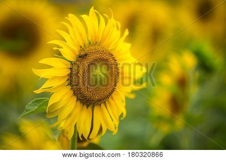 Sunflower natural background Sunflower blooming Sunflower oil improves skin health and promote cell regeneration Thailand