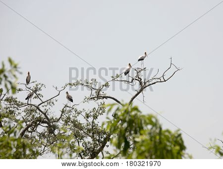 Yellow Billed Storks, Lake Manyara National Park, Tanzania