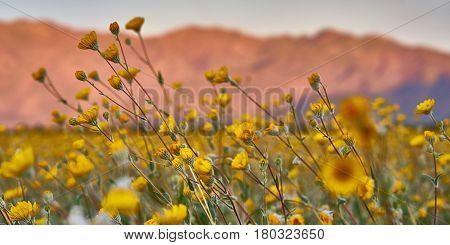 Desert Superbloom Flowers In Anza Borrego State Park