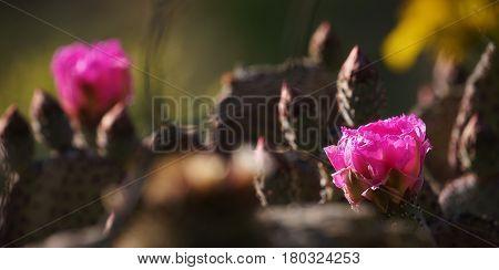 Desert Superbloom Flowers In Anza Borrego State Park`