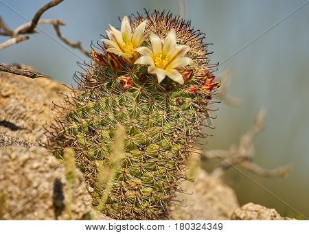 Desert Cactus Blooming In Anza Borrego State Park