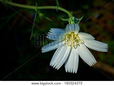 Desert Superbloom White Flower In Anza Borrego State Park
