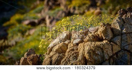 Desert Flowers Superbloom In Anza Borrego State Park