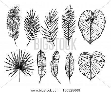 Hand Drawn Vector Illustration - Palm Leaves (monstera, Areca Palm, Fan Palm, Banana Leaves). Tropic
