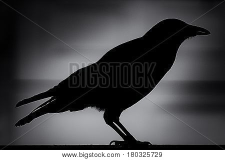 Black crow on a fence in black and white