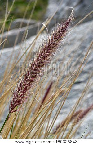 Ornamental grass feathertail plant in Anza Borrego